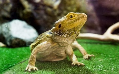 Bearded Dragon Life Span (And How To Increase It)