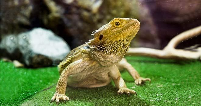 Bearded Dragon Life Span And How To Increase It