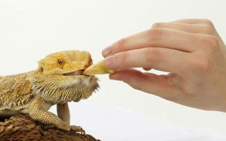 Feeding Your Bearded Dragon | Bearded Dragon Food and Diet