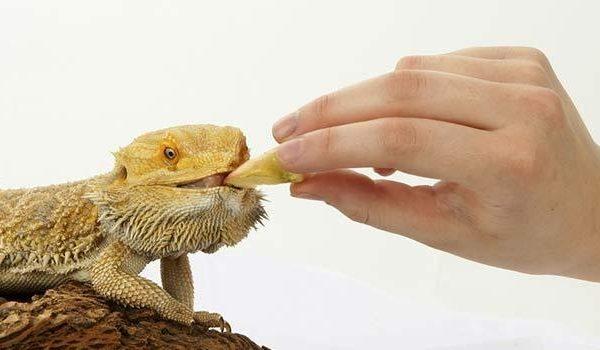 Feeding Your Bearded Dragon | Bearded Dragon Food and Diet
