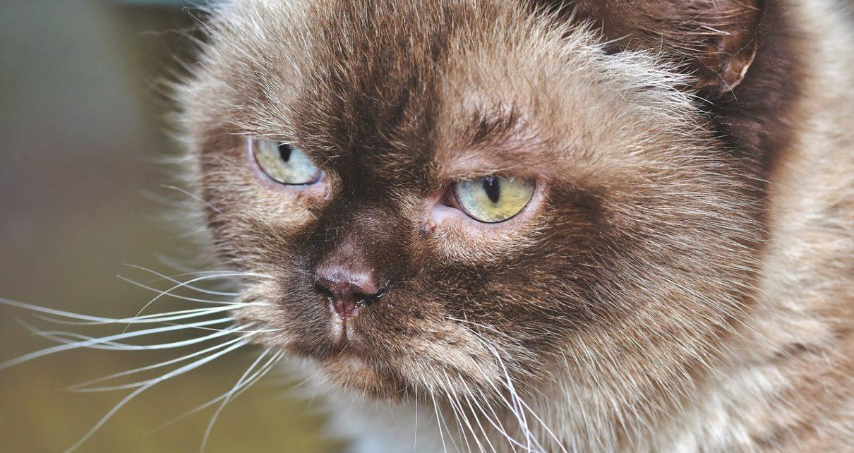 breed cat 4029622 1280